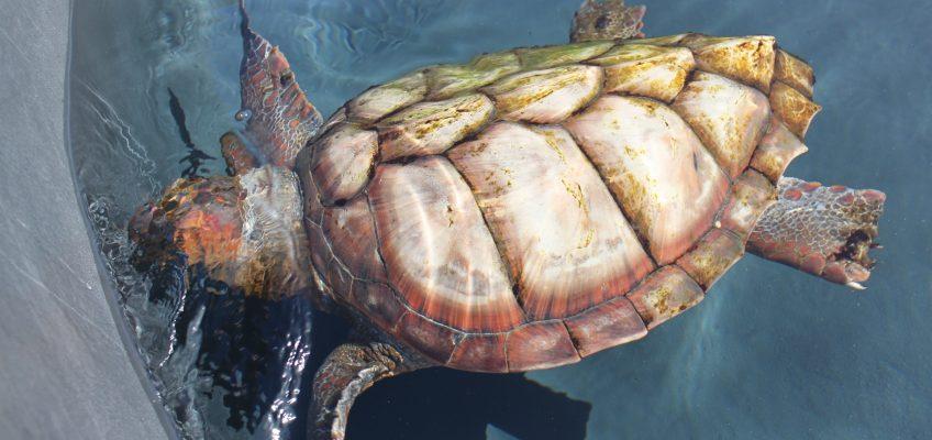 Les tortues de Fuerteventura